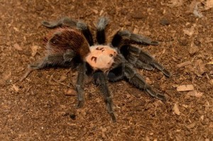 golden-red-rump-tarantula-brachypelma-albiceps