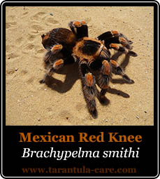 species-brachypelma-smithi