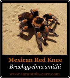 brachypelma smithi
