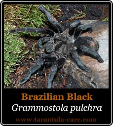 species-grammostola-pulchra