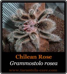 Grammostola rosea