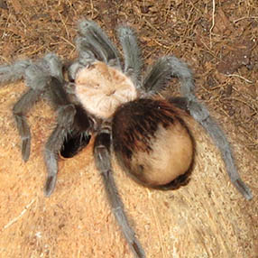 Premoult B.albiceps showing a large bald patch on the abdomen