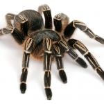 zebra-tarantula